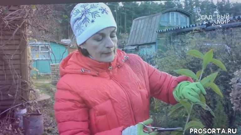череки зимой, как укоренять черенки, как выращивать гортензию, черенки гортензии, как укрывать черенки, как зимуют черенки, размножение гортензии, как размножить гортензии