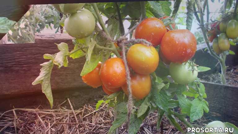 помидор, амурский штамб, сорт, томат