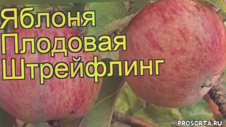 яблоня плодовая штрейфлинг уход, яблоня плодовая штрейфлинг посадка, яблоня плодовая штрейфлинг отзывы, где купить саженцы яблоню плодовую штрейфлинг, купить саженцы яблони штрейфлинг, саженцы яблоню плодовую штрейфлинг, видео яблоня плодовая штрейфлинг, яблоня плодовая штрейфлинг описание характеристик
