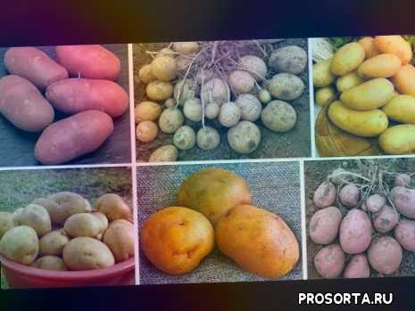 картофель колетте, картофель беллароза, картофель гала, картофель ред скарлет, картофель жуковский ранний, лучшие сорта картошки картофель удача, лучшие сорта картофеля