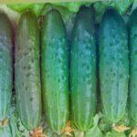Самые вкусные огурчики  Выбираем салатные сорта!