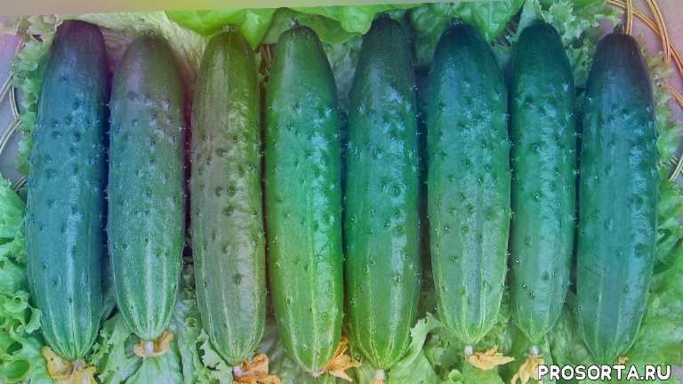 самые вкусные, авторские семена, манул, выбрать, семена, салатные, огурцы, огород