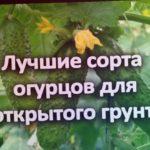 Вам обязательно захочется посадить эти огурцы у себя! Огурцы для открытого грунта.