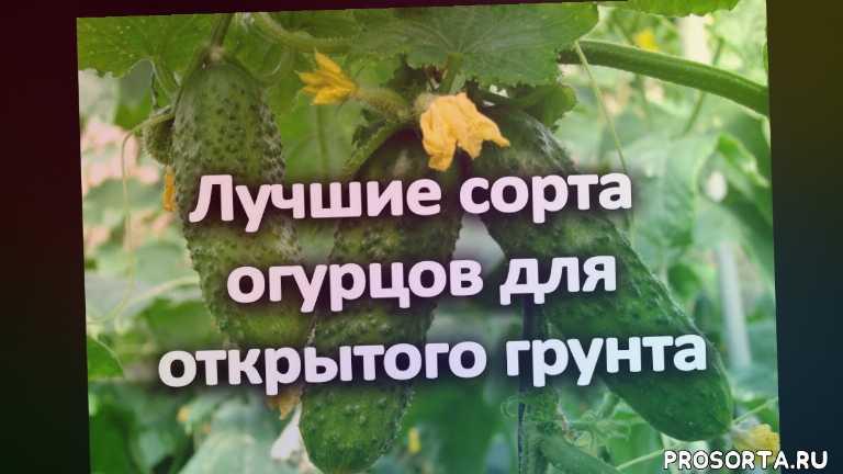 какие огурцы самые урожайные, какие огурцы лучше сажать в открытый грунт, какие огурцы лучше сажать, какие огурцы посадить, семена огурцов украина, семена огурцов, огурцы для открытого грунта, купить семена киев