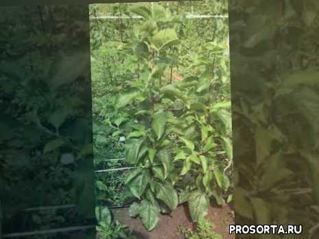Окулировка, привитые саженцы.. сорт яблок Либерти... зеленые операции