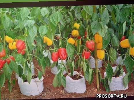 нужно ли формировать перец, подкормки перца, как подкормить перец, что сделать с перцем для большого урожая, выращивание перца, как формировать перец, формировка перца, как посадить перец