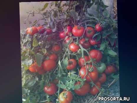 в открытом грунте, уход за томатом, томаты, монгольский карлик, сорт томата, томат, томат монгольский карлик