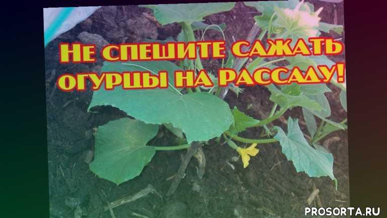 когда сажать огурцы в теплице, когда сажать огурцы на рассаду на урале, когда сажать огурцы на рассаду для теплицы, когда сажать огурцы, не спешите сажать огурцы на рассаду!