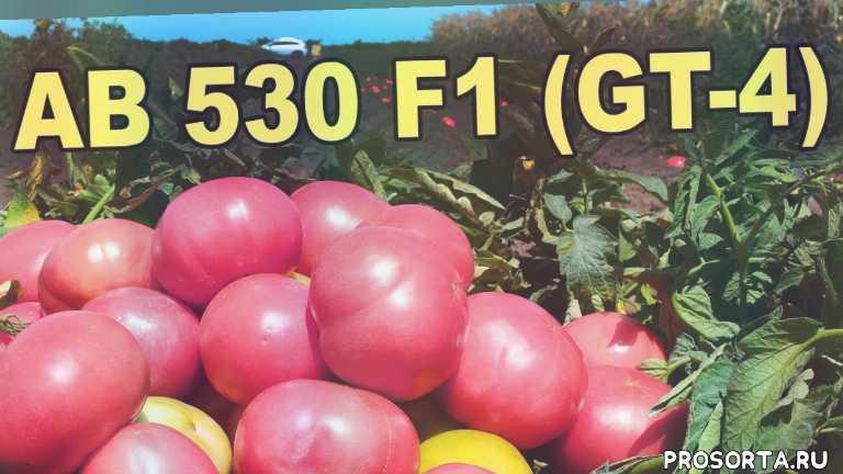 atakama seeds, ab 530 f1, gt 4, джити 4, помидоры, юксел тохум, интро, вита