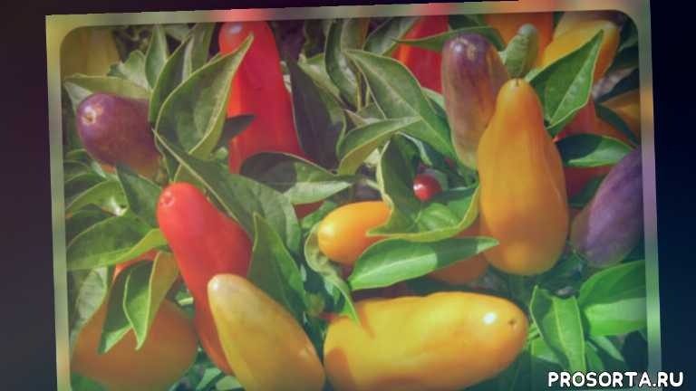огородникам, перец на рассаду, сладкий перец, лучшие сорта перца, семена перца, перец калифорнийское чудо, перец подарок молдовы, перец ночка