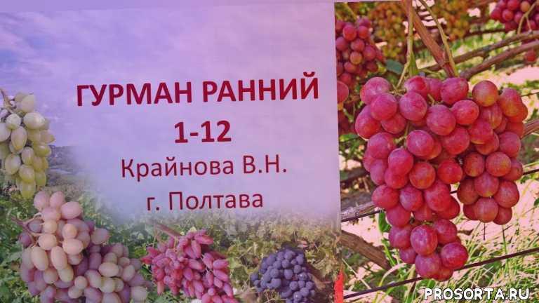 вкусный виноград, виноград розовый, выращивание, виноград крайнова, виноград ранний, столовый виноград, виноград гурман ранний, виноград 2019 года