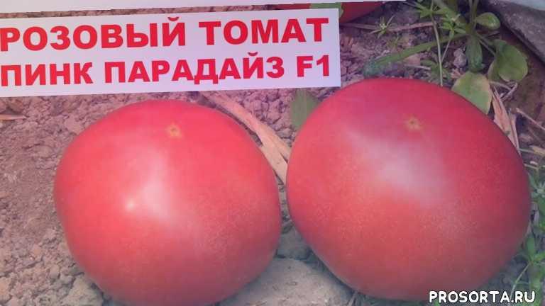выращивание розового тоамта, выращивание томата в теплице, урожайные томат, розовый томат, урожайный розовый томат, pink paradise f1, пинк парадайз f1, семена розового томата