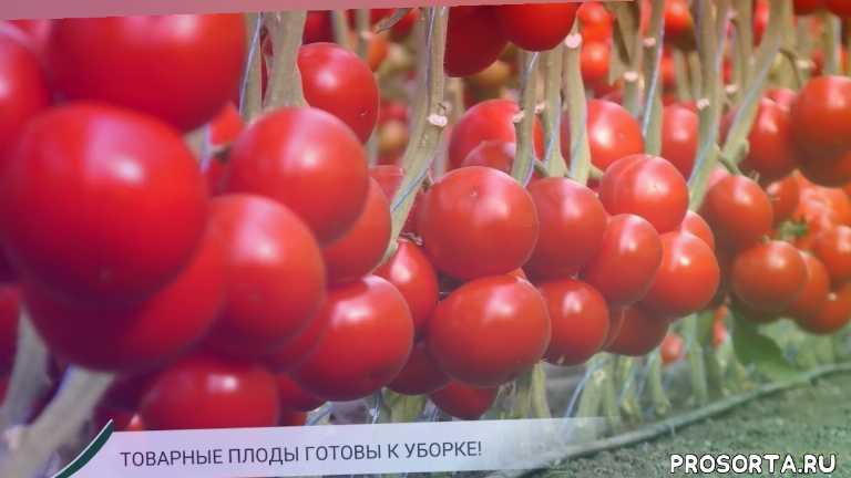 beef tomato for greenhouse, урожайный огород, тепличный томат обзор, крупноплодный томат, гибрид томата, биф томат, выращивание тепличного томата, tomato ks 21
