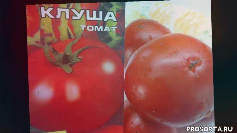 очень вкусный томат, сорт томата клуша, неприхотливые сорта, самые урожайные томаты, сад огород, томаты, ольга чернова