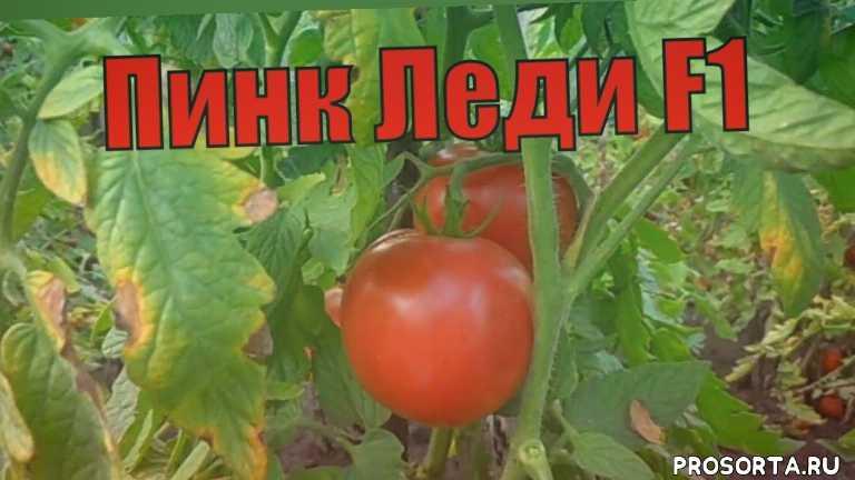 устйчивые к заболеваниям, салатного назначения, раннеспелые, открытый грунт, плодоношение, раннего созревания, подвязка, вкусовые качества