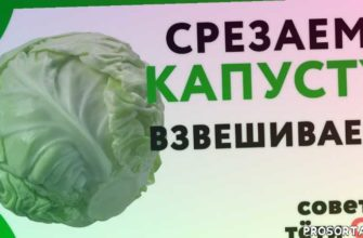how to make cabbage, cabbage, сорт капусты глория, сорт капусты мегатон, сорт капусты атрия, сорт капусты, глория, мегатон