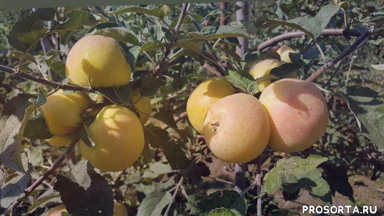 снежный кальвиль когда собирать, яблоня сніжний кальвіль, сорт яблока снежный кальвиль, яблоня снежный кальвиль характеристика, черенки, какие сорта яблонь посадить, яблони уход, выбрать лучшие сорта яблок