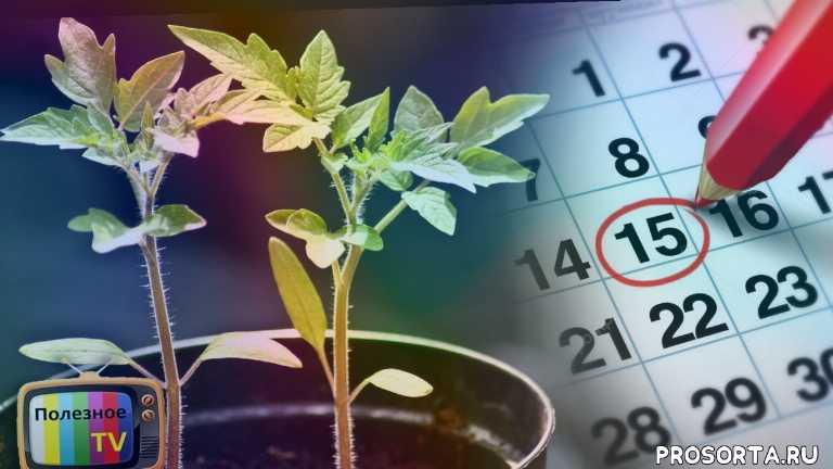 посев рассады томатов, посев томатов, посев помидор, рассада томатов, рассада помидор, сроки посева рассады, рассада из семян в домашних условиях, как вырастить рассаду из семян
