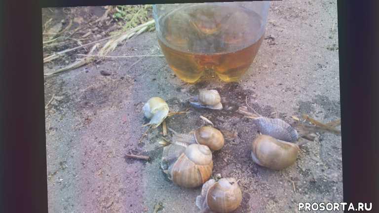 олегкарп, ловушки +для улиток +в саду, ловушка +для улиток +на огороде, самодельные ловушки +для улиток, ловушка +для улиток +своими руками +из бутылки, ловушка +для улиток +из бутылки, ловушка +для слизней +и улиток, +как сделать ловушку +для улиток