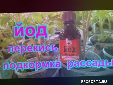йод для рассады, перекись для рассады, йод обработка растений, йод обработка, https://www.youtube.com/edit?o=u&video_id=xkoezb2tduy, йод для сада, подкормка томатов йодом, супер средство