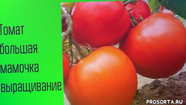 томаты для теплиц, подготовка семян томатов, магазин, отличные семена для супер урожая, покупки семян, очень много семян, посадка помидоров, как прорастают семена