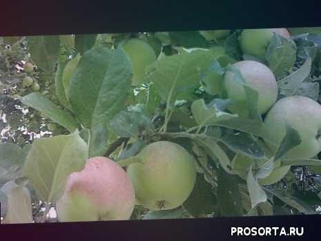 #урожай # яблоки # сад #