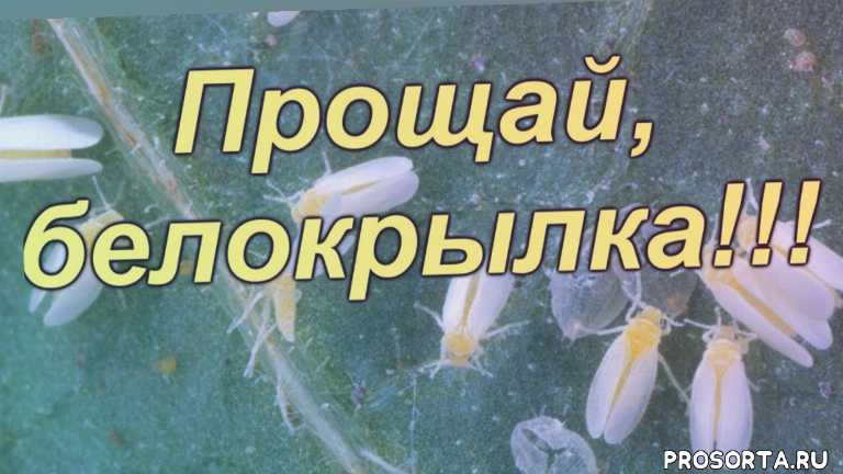 сад огород своими руками, белокрылка методы борьбы, белокрылка на огурцах, самое эффективное средство от белокрылки, чем бороться с белокрылкой в теплице, как победить белокрылку, теппеки, теппеки как разводить