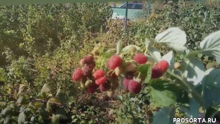 плодовые кустарники, саженцы, малина