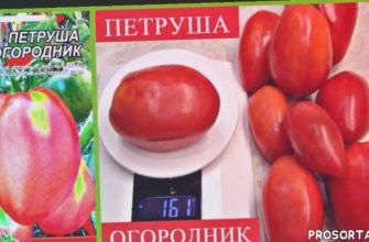 обзор моего урожая томатов, сливовидные томаты, низкорослые томаты, детерминантные сорта томатов, лушчие семена томатов, умелая хозяйка, осыпящие томаты, универсальный сорт
