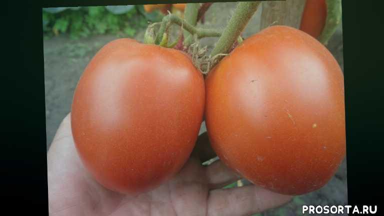 урожайный томат, сад огород, вызревает в открытом грунте, томат перцевидный гигант, томаты для теплицы, ольга чернова