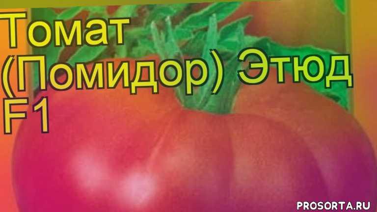томат этюд f1 какие растения сажают рядом, томат этюд f1 посадка и уход, томат этюд f1 уход, томат этюд f1 посадка, томат этюд f1 отзывы, где купить семена томат этюд f1, купить семена томата этюд f1, семена томат этюд f1