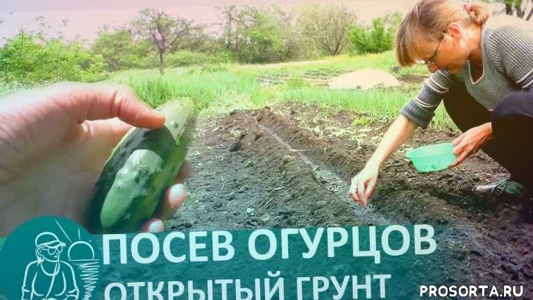 посев, огурцы, дача, огород, как правильно сеять огурцы в грунт, агротехника огурцов, выращивание огурцов в открытом грунте, когда сеять огурцы