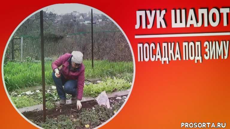 любимая усадьба, весной, выращивание чеснока, как сажать чеснок, лук на репку, как выращивать лук, тонкости посадки лука, подзимняя посадка лука