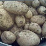 2 Картофель Удача и Розара  Буду выращивать