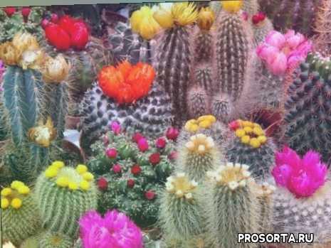 виды кактусов, кактусы, какту