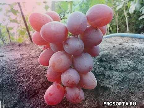 форма анюта, сорт анюта, сорт винограда, выращивание винограда, виноград, столовый виноград, виноград анюта, анюта