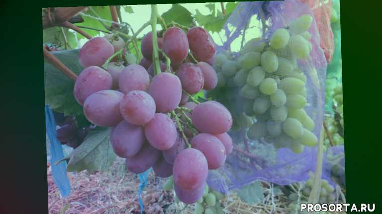 крайнова, крупный рыночный, вкусный красивый розовый среднего созревания, мускатный сорт, анюта, food (tv genre), сорт винограда, vitis (organism classification)