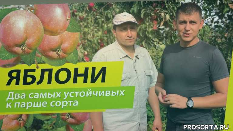 сибирское здоровье, яблоки, алтайские яблоки, горноалтайские яблоки, яблоня, во саду ли в огороде, огород, сад