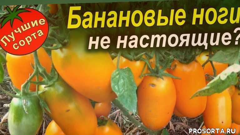 урожайные сорта томатов 2018, семена томата банановые ноги, семена урожайных томатов, урожайные сорта томатов, лучшие сорта томатов, самые урожайные томаты, урожайные томаты, желтые томаты