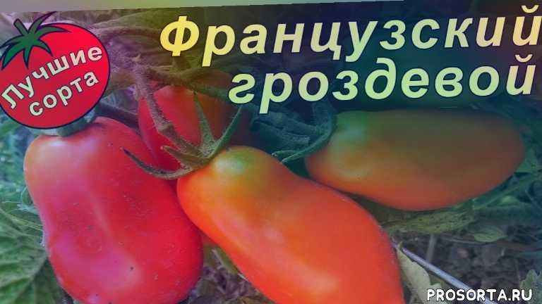 семена томата французский гроздевой, самые урожайные томаты, сорта томатов для открытого грунта, урожайные сорта томатов, урожайные томаты, лучшие сорта томатов, сорта томатов, томат французский гроздевой