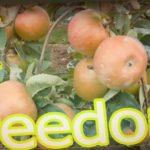 Осенний сорт яблони = Фридом = ИМУННЫЙ К ПАРШЕ