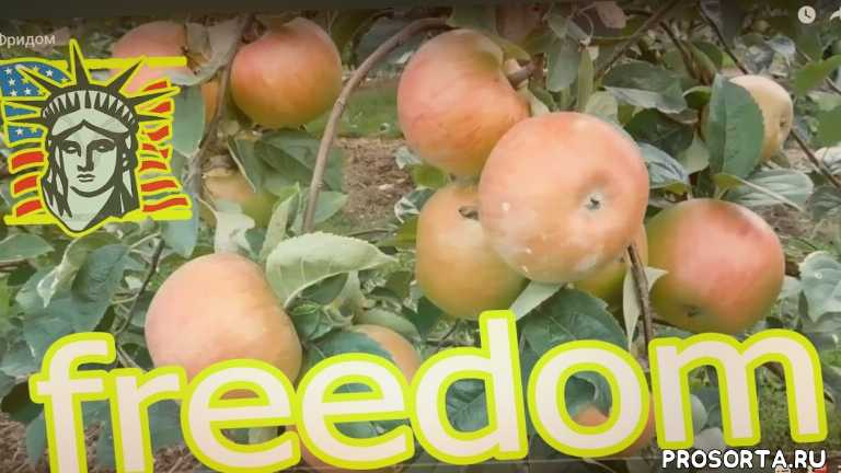 freedom, malus, сорт, фридом, сад, яблоки