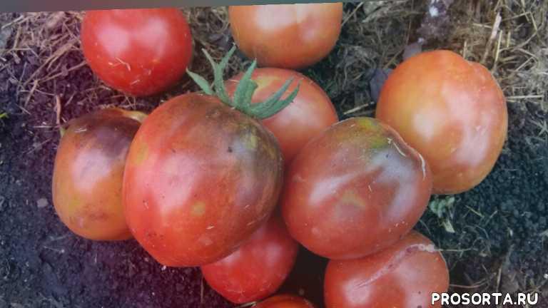 помидор разноцветная красота, томат разноцветная красота, #томатнаконсервацию, томат на консервацию, сорта томатов для открытого грунта, #сортатоматовдляоткрытогогрунта, какие помидоры буду сажать обязательно, самые урожайные сорта томатов