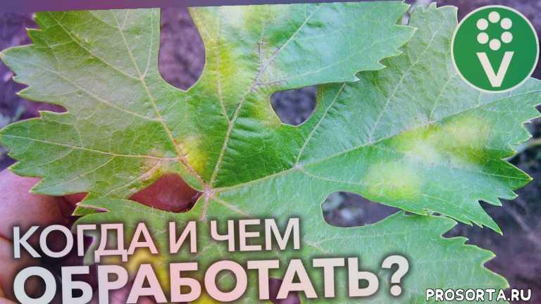 мучнистая роса, как лечить милдью, иван русских, procvetok, процветок, защита винограда, саженцы винограда, виноград весной
