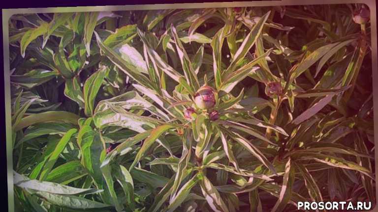 цветоводство, клумба, многолетники, цветник, уход за пионом, чем болеет пион, скручивание листьев пиона, у пионов скручиваются листья