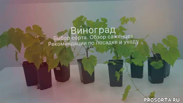 виноград уход, посадка винограда, сорта винограда, саженцы винограда, виноград плодовый, виноград, саженцы