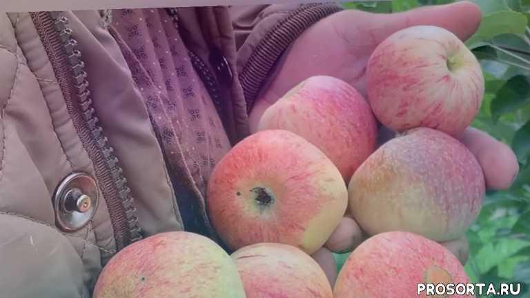 ранние сорта яблонь, яблоня, саженцы яблонь сорта, сад, питомник, летние сорта яблонь, сорта яблонь, конфетное