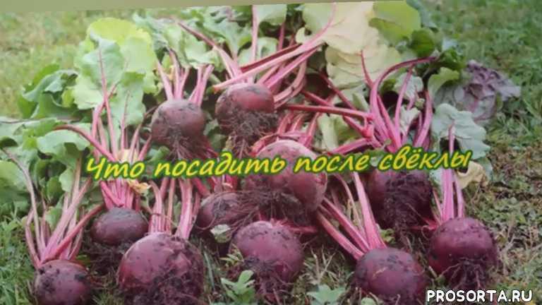 what to plant after beets, рассада, огород для начинающих, сад, урожайный огород, сырая свекла для похудения отзывы, свекла для похудения отзывы, сырая свекла для похудения