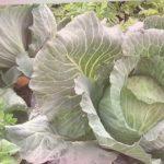 180. Особенности посадки белокочанной капусты