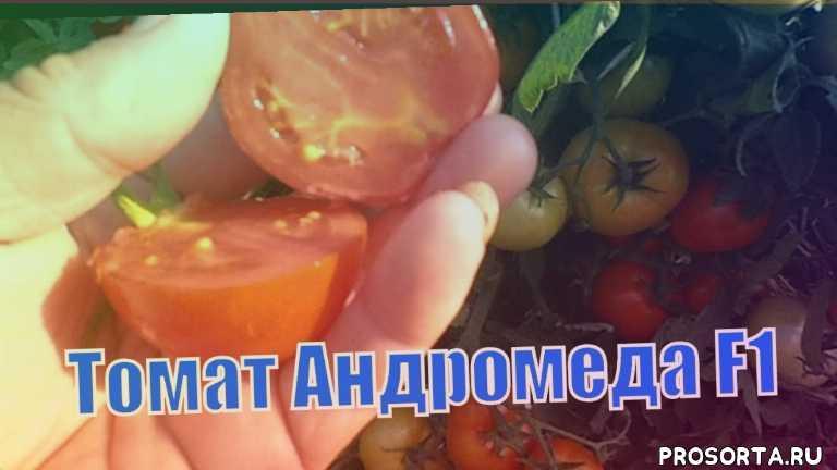 супер урожайные томаты, ранние томаты, ранние сорта томатов, характеристика томата андромеда, томат андромеда, выращивание томатов, томат открытый грунт, томат сорт